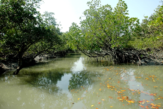 Mangroves along a creek in Sundarbans