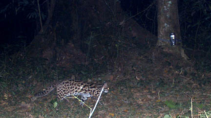 Report 1_ Lesser Cats by Camera Trap in BTR