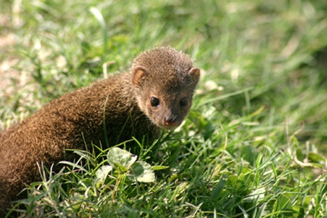 A baby mongoose