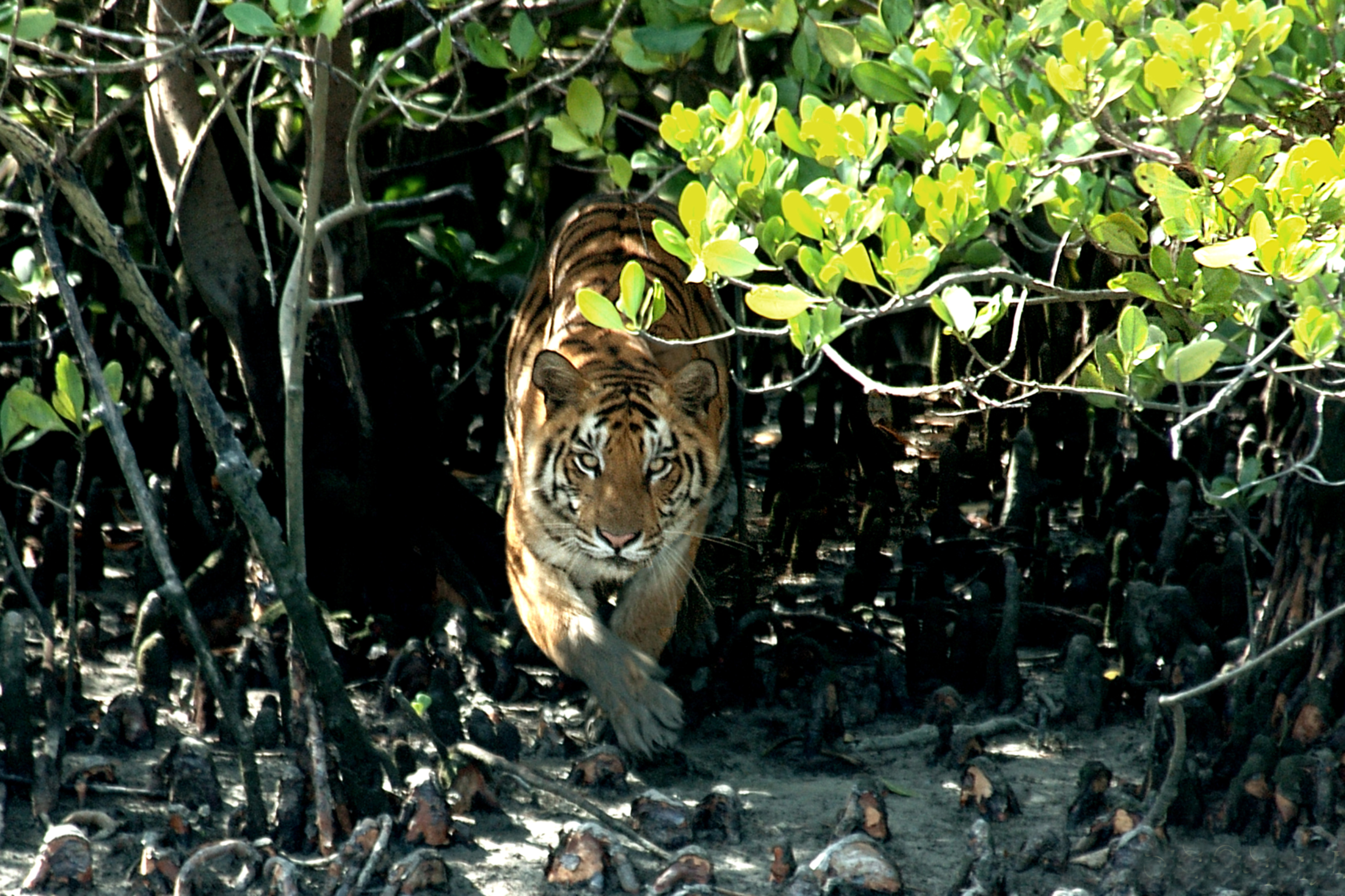 the sundarban forest The climate in sunderbans is generally soothing and pleasant ordinarily, the climate in sunderbans ranges from 34 °c and 20 °c, and the rainfall is extremely high.